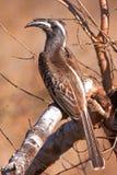 非洲人般的灰色犀鸟 库存照片