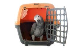 非洲人般的灰色鹦鹉在狗窝 库存图片