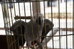 非洲人般的灰色鹦鹉特写镜头在笼子的 库存图片
