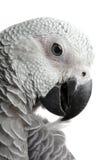非洲人般的灰色鹦鹉 图库摄影