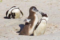 非洲企鹅小鸡过分要求的食物 免版税库存照片