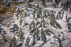 非洲企鹅殖民地在贝蒂的海湾,南非 图库摄影