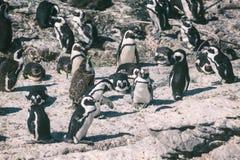 非洲企鹅殖民地在贝蒂的海湾,南非 库存照片