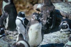 非洲企鹅殖民地在贝蒂的海湾 库存照片
