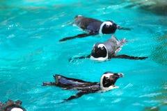 非洲企鹅游泳 库存图片