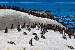 非洲企鹅蠢企鹅demersus和海角鸬鹚capensic鸟的鸬鹚 非洲南海滩的冰砾 免版税库存照片