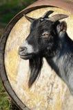 非洲公山羊侏儒 免版税库存图片
