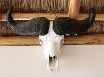 非洲公牛头骨 免版税库存图片
