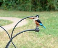 非洲公用翠鸟 免版税库存照片