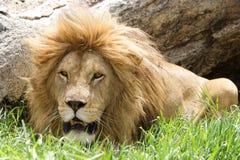 非洲利奥狮子panthera 免版税图库摄影