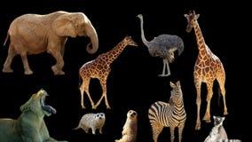 非洲动物拼贴画 免版税库存照片
