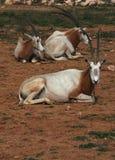 非洲动物有角的羚羊属savvanah短弯刀 免版税库存图片