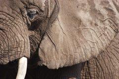 非洲动物特写镜头详细资料大象 免版税图库摄影