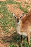 非洲动物cobe lechwe大草原 库存图片