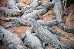 非洲南鳄鱼的小室 免版税库存照片