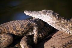 非洲南鳄鱼的青少年 库存照片