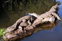 非洲南鳄鱼的青少年 免版税库存图片