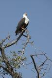 非洲博茨瓦纳老鹰鱼 库存图片