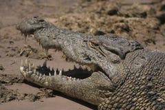 非洲博茨瓦纳chobe鳄鱼np 免版税库存照片