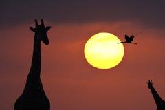 非洲博茨瓦纳Delta okavango日落 图库摄影
