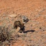 非洲地松鼠 图库摄影