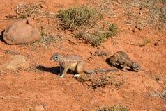 非洲地松鼠 免版税库存图片