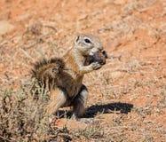 非洲地松鼠 免版税库存照片