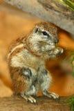 非洲地面南灰鼠 免版税库存照片