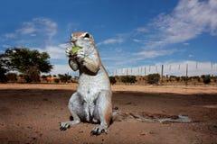 非洲地面kalahari南灰鼠 库存图片
