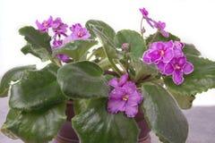 非洲堇非洲紫罗兰,非洲堇ionantha桃红色花 免版税库存照片