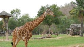 非洲大草原动物在举世闻名的khao kheo动物园的沼地吃草在泰国 长颈鹿,水牛,驼鸟 股票录像