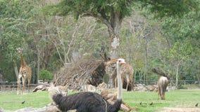 非洲大草原动物在举世闻名的khao kheo动物园的沼地吃草在泰国 长颈鹿,水牛,驼鸟 股票视频