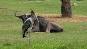 非洲大草原在Khao Kheow开放动物园里 泰国 股票视频