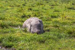 非洲大象从在沼泽的热被保存 Amboseli,肯尼亚 免版税库存图片