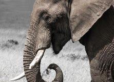 非洲大象关闭画象  在野生生物的动物 免版税图库摄影