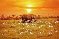 非洲大象和鸟在日落 闹事 坦桑尼亚 库存图片