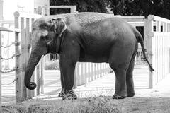非洲大象在动物园里,野生动物 免版税库存照片