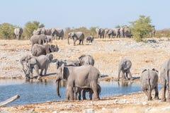 非洲大象大牧群,非洲象属africana,在waterh 库存图片