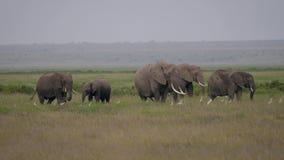 非洲大象家庭与吃草草的婴孩的在大草原的一个牧场地 股票视频