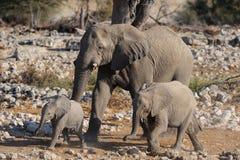 非洲大象家庭, etosha nationalpark,纳米比亚 图库摄影