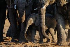 非洲大象小牛, etosha nationalpark,纳米比亚 免版税库存照片
