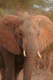 非洲大象徒步旅行队 图库摄影