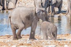 非洲大象母亲和幼小小牛 库存图片