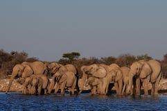 非洲大象牧群喝在waterhole的, etosha nationalpark,纳米比亚 免版税库存照片