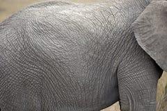 非洲大象特写镜头 免版税图库摄影
