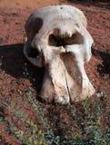 非洲大象的头骨地球上的在猎场 免版税库存照片