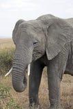 非洲大象纵向 库存照片