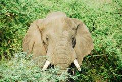 非洲大象落男性murchison n p 免版税库存照片