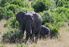 非洲大象,非洲象属africana,与幼小小牛,马萨伊玛拉公园,肯尼亚,非洲的母牛 免版税图库摄影