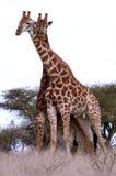 非洲夫妇长颈鹿 库存照片